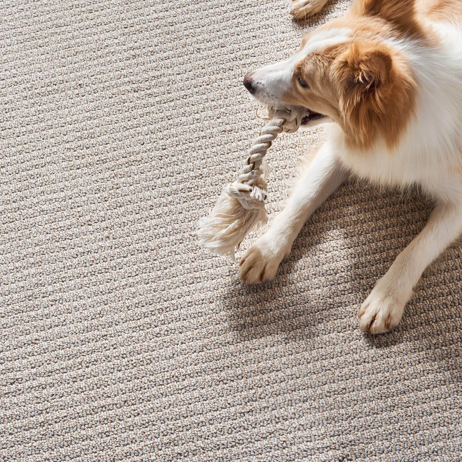 dog on carpet   O'Krent Floors